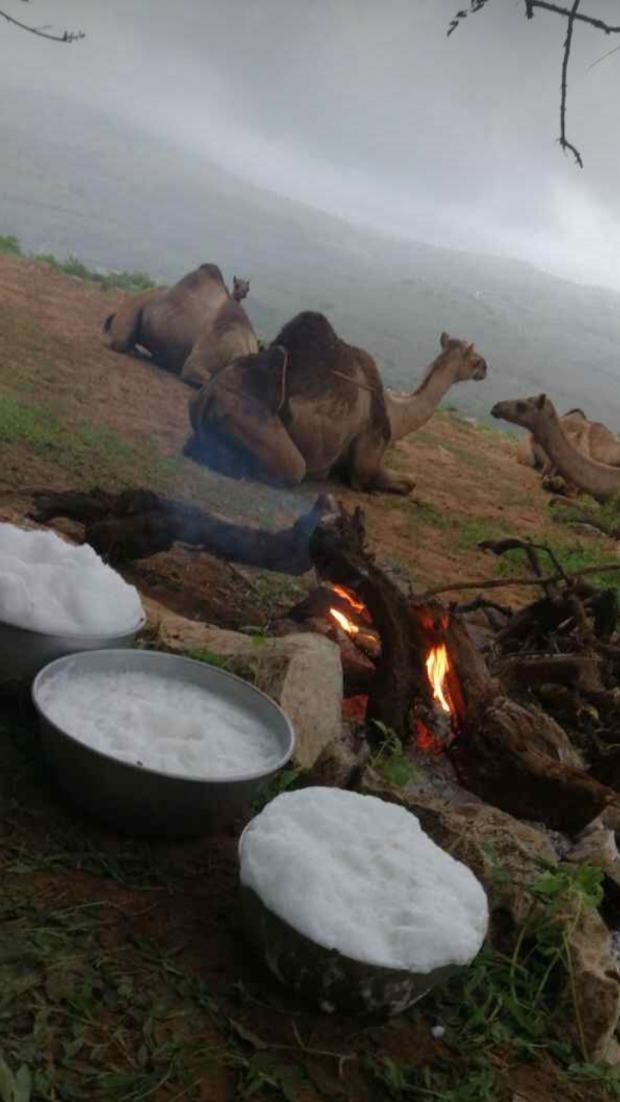 camels and milk 2