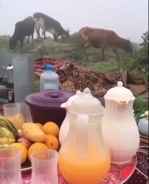 khareef cows