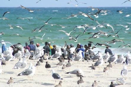 bird gulls 1 - sb