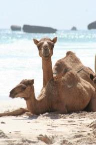 camel 3 - sb