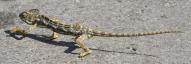 chameleon 2 - sb