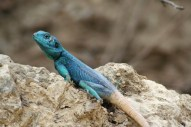 chameleon - sb