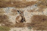 gazelle 1 - sb