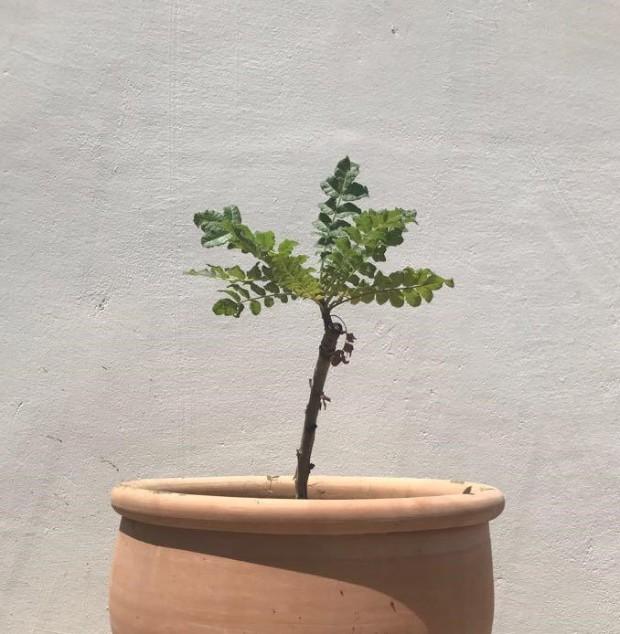 pot crop - f